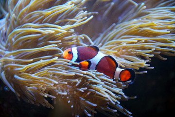Tuinposter Onder water colorful clown fish in the coral reef