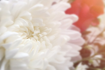 Closeup of white chrysant flower (chrysanthemum) beautiful white petals natural background with soft beautiful sunlight flare.