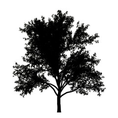 Black silhouette of a robinia tree isolated white background