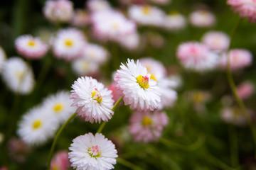 Warm daisies.Wildflowers.Morning.