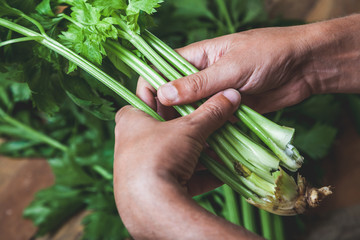 Hands hold  bunch of green celery