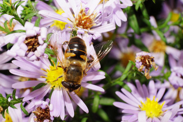 Macro view of the top of Caucasian big fluffy flower flies are with pollen on white-pink flower Alpine aster