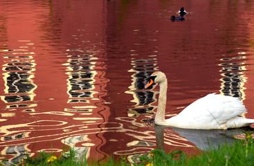 Weißer Schwan auf einem See mit Spiegelung des Neuen Schlosses im Fürst-Pückler-Park von Bad Muskau