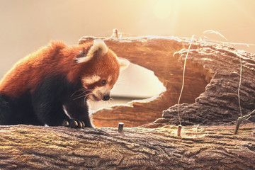 lovely red panda sitting on a trunk in a tree