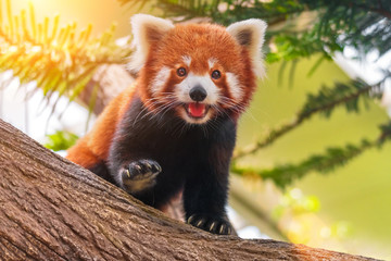 Photo sur Aluminium Panda Red panda on a tree on a sunny day