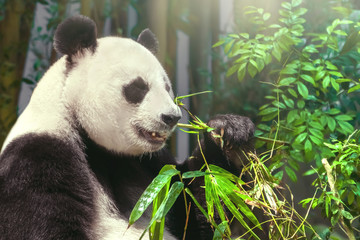 Foto auf Acrylglas Pandas giant panda eating bamboo in the forest