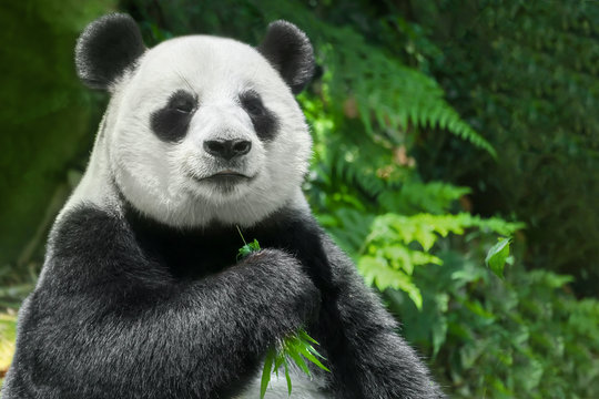 Giant panda (Ailuropoda melanoleuca) or Panda Bear. Close up of giant panda sitting and eating bamboo