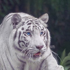 White tiger with blue eyes close-up portrait
