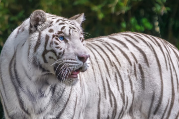 Beautiful adult white tiger with blue eyes