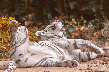 A white tiger is lying on the sand