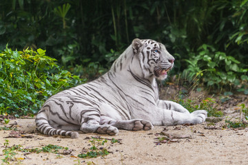 White tiger resting on the sand