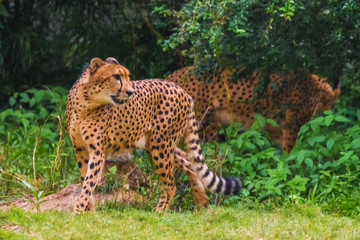 Two adult cheetahs in nature