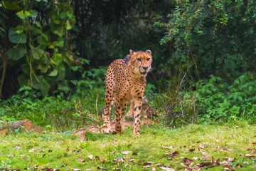 Cheetah walking through the woods