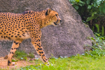 Walking adult cheetah