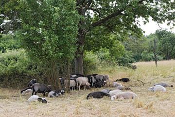 herd of sheep in the nature reserve Schwanheimer dune in Frankfurt am Main, Hesse, Germany