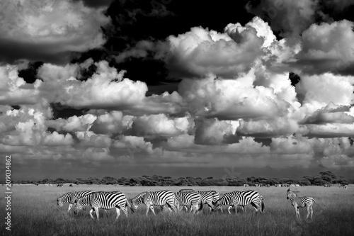Zebra with blue storm sky  Burchell's zebra, Equus quagga