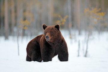 Winter in Europe. Beautiful brown mammal walking around lake with snow and ice. Dangerous creature in nature wood, meadow habitat. Wildlife habitat from Finland. Bear in winter condition.