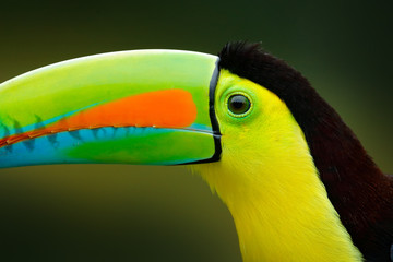 In de dag Toekan Close-up detail portrait of toucan. Beautiful bird with big beak. Chesnut-mandibled sitting on the branch in tropical rain with green jungle in background, Costa Rica.
