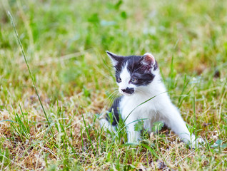 Black and white playful kitty sitting alone in green meadow