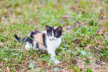 Three-color little cute kitten walking alone in green meadow