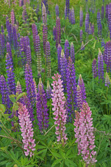 A lot of bright multi-colored lupins on the green meadow