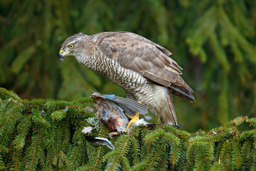 Wall Mural - Bird behaviour. Bird of prey Goshawk kill jay on green spruce tree. Feeding scene with bird and catch. Goshawk, forest habitat. Hawk from Czech Reublic. Wildlife scene from wild nature.