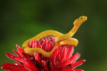 Poison snake from tropic forest. Yellow Eyelash Palm Pitviper, Bothriechis schlegeli, on the red wild flower. Wildlife scene from tropic forest. Bloom with snake in America.