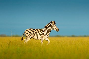 Fotomurales - Zebra with blue sky. Burchell's zebra, Equus quagga burchellii, Nxai Pan National Park, Botswana, Africa. Wild animal on the meadow, zebra in habitat, evening sun. Wildlife nature, Africa safari.
