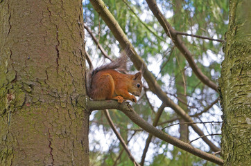 Red squirrel sits sideways on a branch against a background of green trees