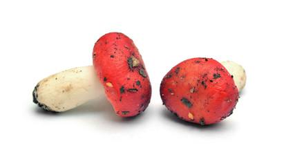 russula mushrooms