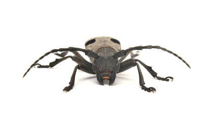 morimus funereus beetle