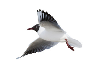 flying black-headed small gull side view