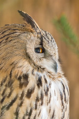 eagle-owl on brown background