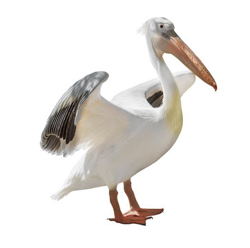 large pelican with open wings on white