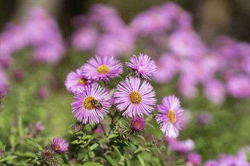 Bushy aster, Symphyotrichum dumosum, plant in the aster family with bee close-up. Picturesque bright plant in autumn