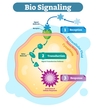 Bio signaling cell communication network system, micro biological anatomy labeled diagram vector illustration with receptor, transduction and response activity.