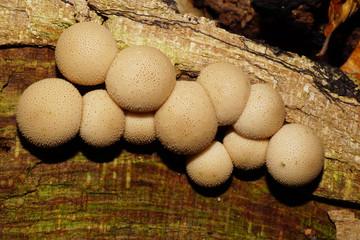 Close-up of young Caucasian mushroom raincoat Lycoperdon