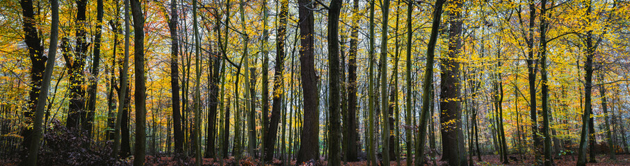 Panorama of a autumn yellow forest