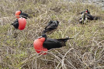 Magnificent Frigatebird (Fregata magnificens) in Galapagos Islan
