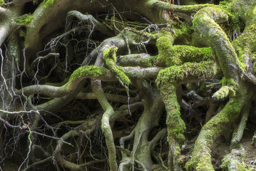 Beech tree roots with moss