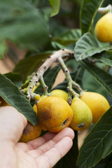 man picking loquats from the tree