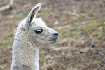 White baby llama portrait