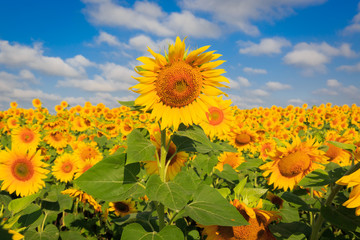 sunflowers in sunny day