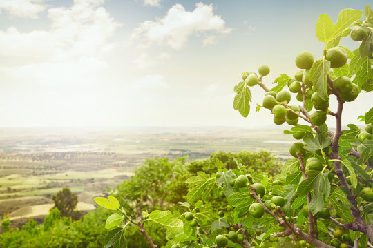 Fig tree on spain landscape, cultivated fields