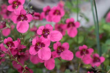 Flowers of cerise diascia