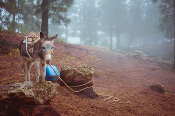 Cute donkey standing sideways near the pine forest on early misty morning ready to work