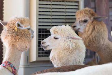 Cute and funny Alpaca in farm, friendly animal.