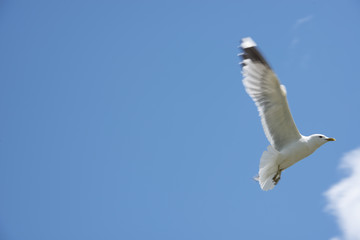 The flying seagull against the background of the blue sky