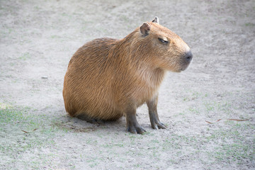 Capybara family swimming in the pool.