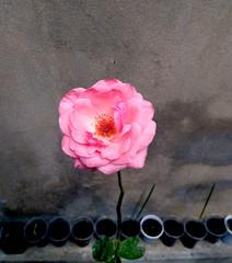 Beautiful pink single rose in a garden